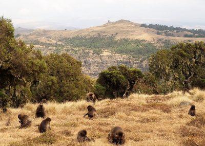 ethiopie-singes-groupe-800