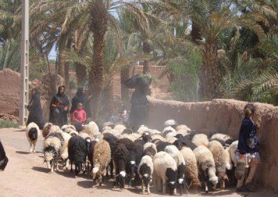 maroc-liberte-zaouit-sahara-troupeau-ouleddriss-600