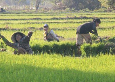 laos-sud-riziere3